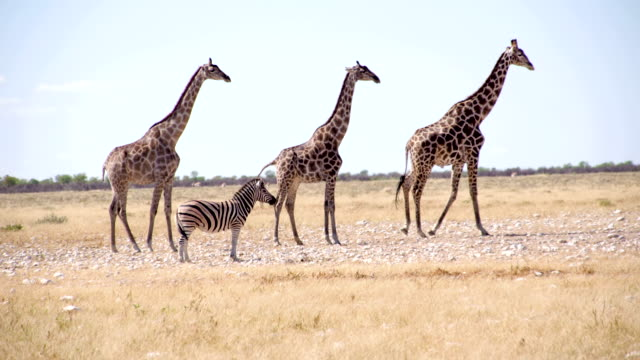 stockvideo's en b-roll-footage met ws giraffes and zebra in the african savannah - namibië