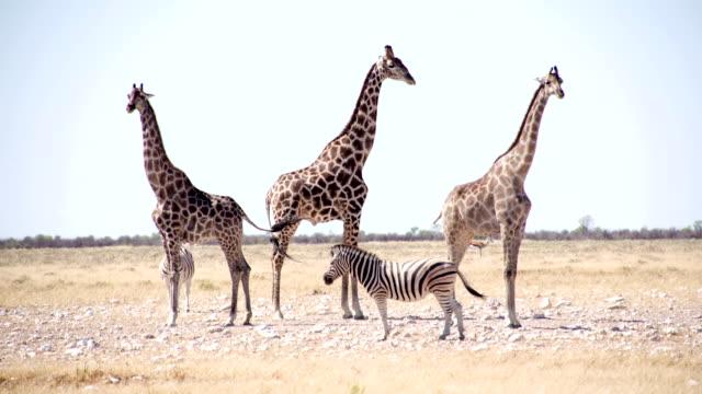 LS Giraffes And Zebras In African Savannah