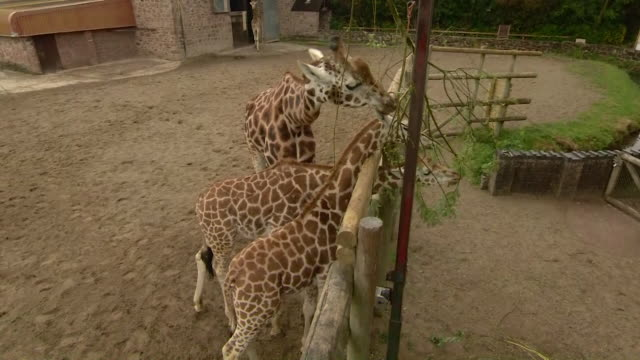 giraffes at chester zoo during the coronavirus lockdown - mammal stock videos & royalty-free footage