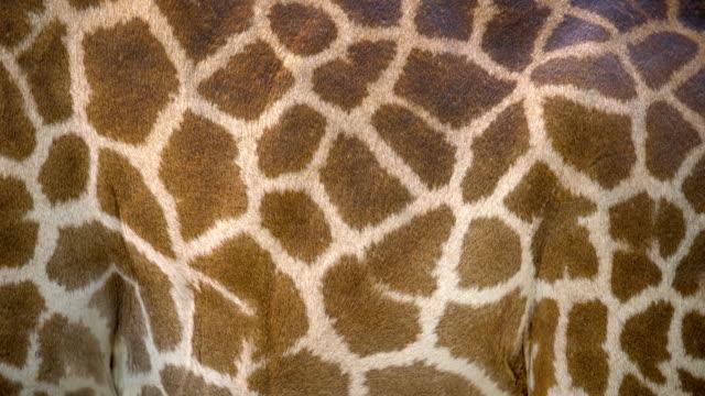 vídeos de stock, filmes e b-roll de pele do corpo da girafa close-up. - girafa