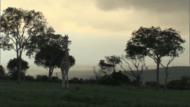 giraffes (giraffa camelopardalis) camouflaged at dusk, kenya - 模倣点の映像素材/bロール