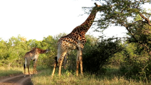 giraffes eating foliage in kruger wildlife reserve - giraffe stock videos and b-roll footage