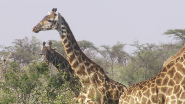 vídeos de stock, filmes e b-roll de  ms giraffes eating tree leaves / tanzania - grupo médio de animais