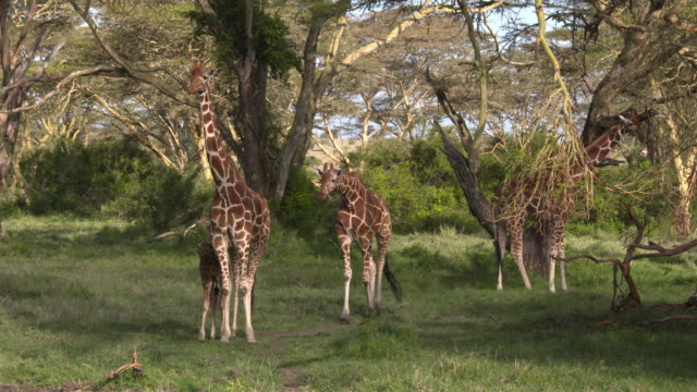 Giraffes family in green acacia forest, with baby suckling