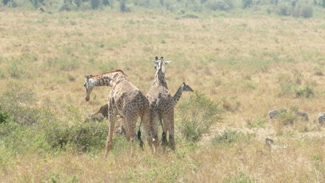 Giraffes Fighting at Masai Mara
