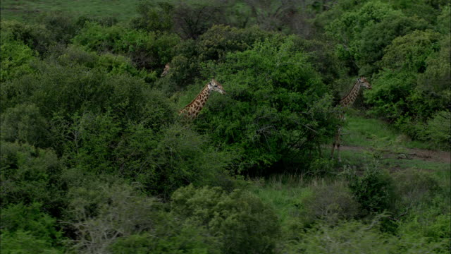 giraffes forage on treetops. - giraffe stock videos & royalty-free footage