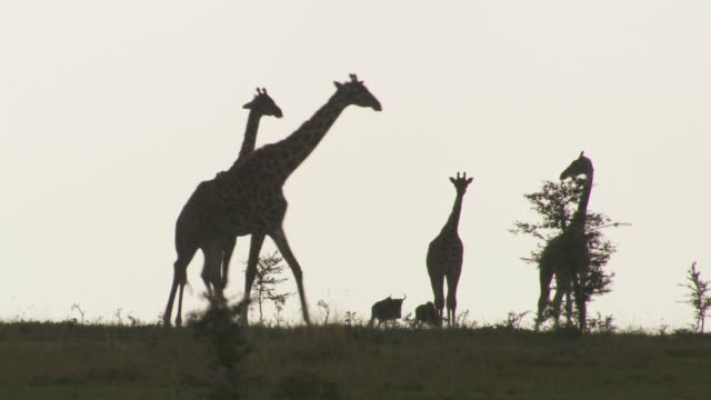 ws giraffes, gazelle's and wildebeasts walking in plain / tanzania - gruppo medio di animali video stock e b–roll