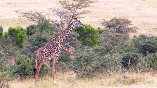 Giraffes Grazing