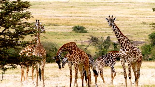 vídeos de stock, filmes e b-roll de girafas pastando - girafa