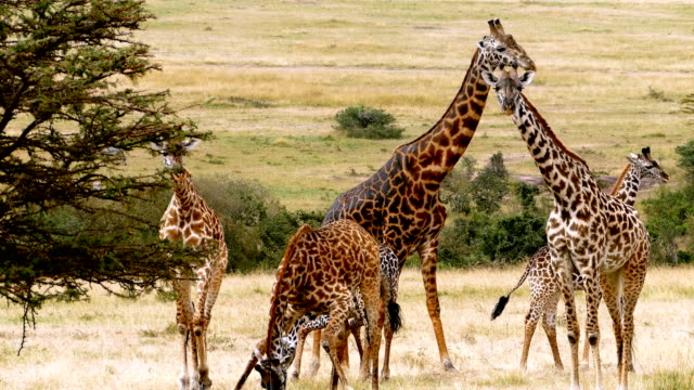 giraffes grazing - kenya stock videos & royalty-free footage