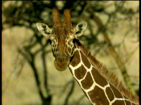 giraffe's head bobs up and down as he walks past trees africa - pezzatura video stock e b–roll