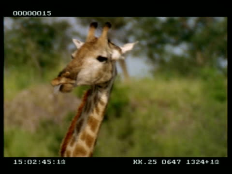 CU of Giraffes head, chewing, then Licking nose. Humour