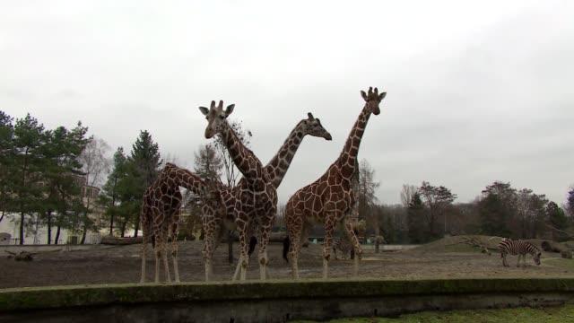 giraffes in enclosure - pferdeartige stock-videos und b-roll-filmmaterial