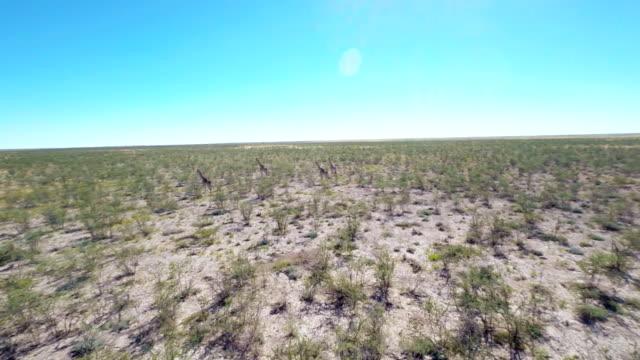 HELI Giraffes In Namibian Savannah
