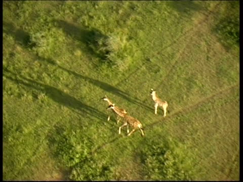 Giraffes in Savannah cast long shadows on grassy ground, MS POV from balloon, Serengeti, Tanzania