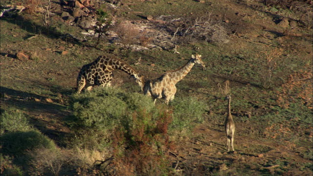 AERIAL WS Giraffes in savannah, Pilanesberg Game Reserve, Saulspoort, North West, South Africa