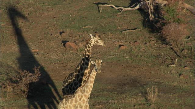 AERIAL MS Giraffes in savannah, Pilanesberg Game Reserve, Saulspoort, North West, South Africa
