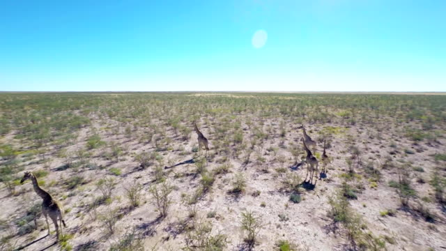 heli giraffes in the savannah - national park stock videos & royalty-free footage