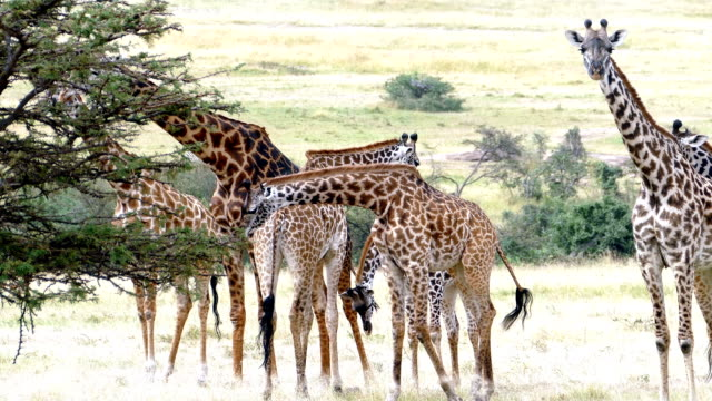 giraffes licking (or eating) freshly killed wildebeest skull - herbivorous stock videos & royalty-free footage