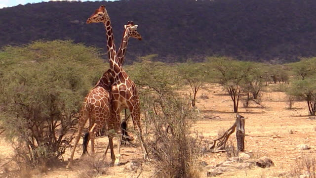 giraffes, male, necking, fighting, samburu, kenya - male animal stock videos & royalty-free footage