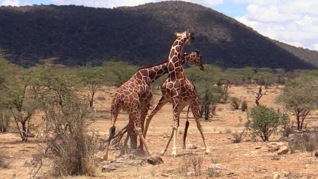 giraffes, male, necking, fighting, samburu, kenya - male animal stock videos & royalty-free footage