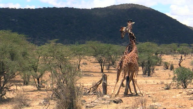 giraffes, males, necking, fighting, samburu, kenya - male animal stock videos & royalty-free footage