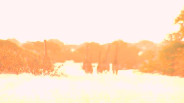 vídeos de stock, filmes e b-roll de giraffes run in the bushveld. available in hd. - superexposto