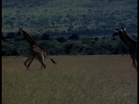 giraffes running across a grassy plain. - cinque animali video stock e b–roll
