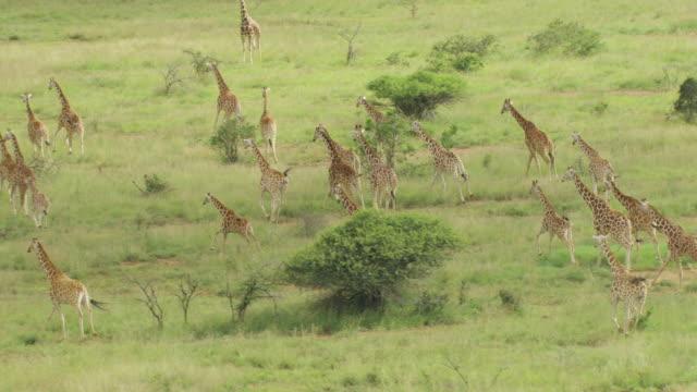 vídeos de stock, filmes e b-roll de ws aerial giraffes running in national park / kenya - girafa