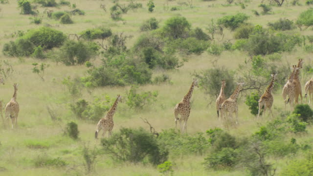 WS AERIAL TS Giraffes running in national park / Kenya
