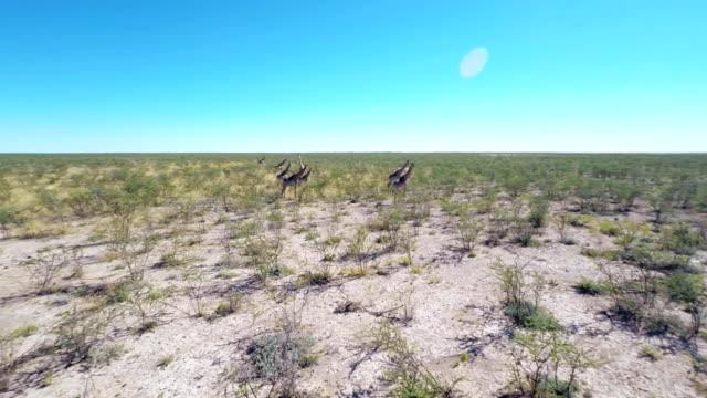 vídeos y material grabado en eventos de stock de heli jirafas del africano de atletismo de savannah - estepa