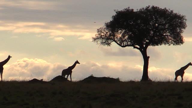 Giraffes silhouetted on horizon at sunset, with tree, Mara, Kenya