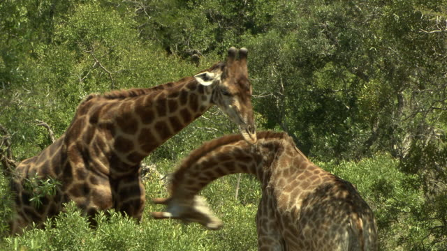 giraffes spar in a thicket. - 攻撃的点の映像素材/bロール
