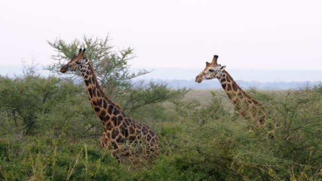 キリンはアフリカのブラシを堂々 とストーカー行為 - ウガンダ点の映像素材/bロール