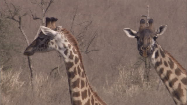 giraffes stand on the savanna. available in hd. - animal neck stock videos & royalty-free footage