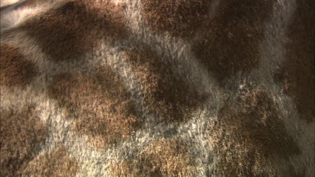 a giraffe's torso shows its spot pattern. - torso stock videos & royalty-free footage