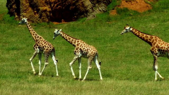 giraffes - zoo stock videos & royalty-free footage