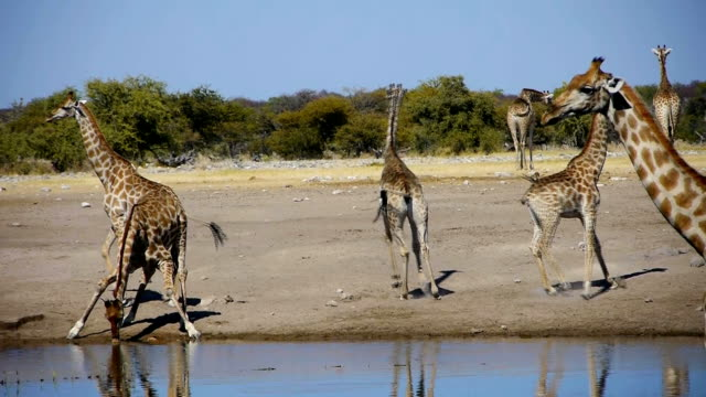giraffes - rennen stock videos & royalty-free footage