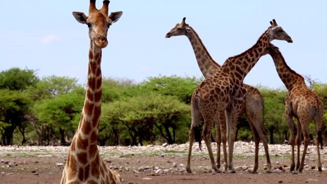 giraffes - giraff bildbanksvideor och videomaterial från bakom kulisserna