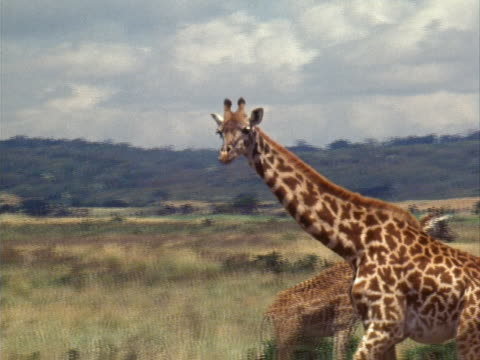 giraffes - herbivorous stock videos & royalty-free footage