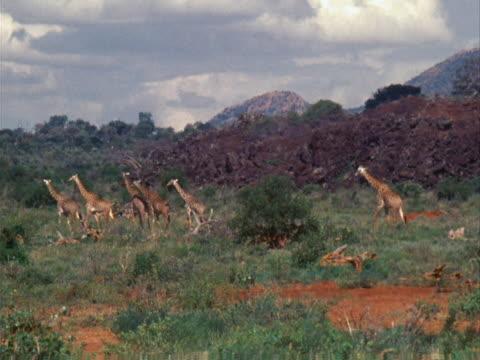 giraffes - pflanzenfressend stock-videos und b-roll-filmmaterial