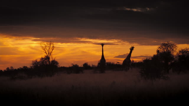 vídeos y material grabado en eventos de stock de giraffes walk through high grasses in the kalahari desert. available in hd. - desierto del kalahari