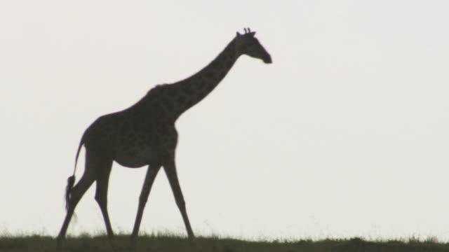 ms ts giraffes walking / tanzania - giraffe stock videos & royalty-free footage