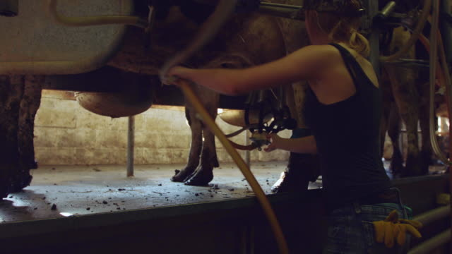 Girl Attaching Cows to Milking Machine in Dairy