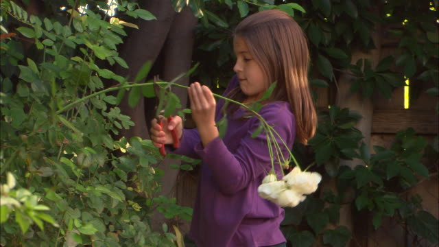 ms, girl (10-11) cutting rose in garden, los angeles, california, usa - pruning shears stock videos & royalty-free footage