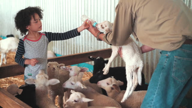 girl feeding goats with milk in baby bottle - ranch stock videos & royalty-free footage
