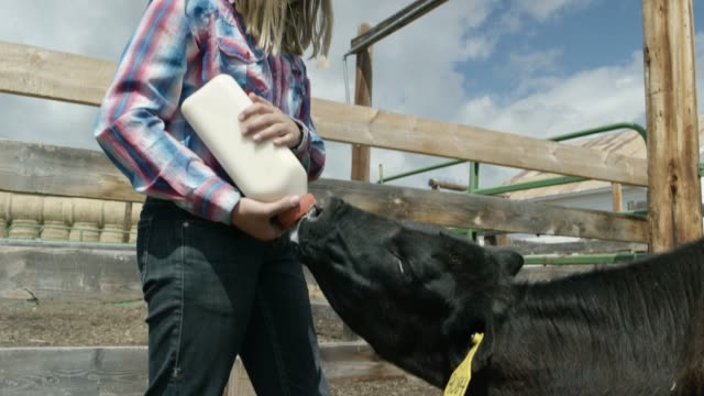 a girl feeds a calf - domestic cattle stock videos & royalty-free footage
