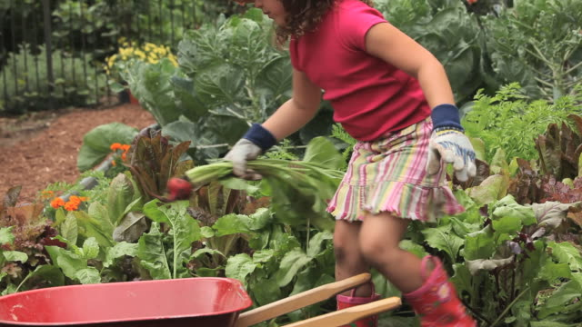ms pan girl (4-5) harvesting beets in vegetable garden / richmond, virginia, usa - vegetable garden stock videos and b-roll footage