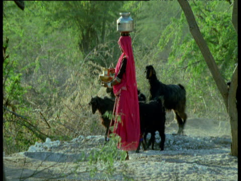 girl in pink skirt carries water bowl on her head past goats and cattle in village, india - tier rücken stock-videos und b-roll-filmmaterial