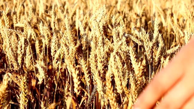 ragazza nel campo (hd - cereal plant video stock e b–roll